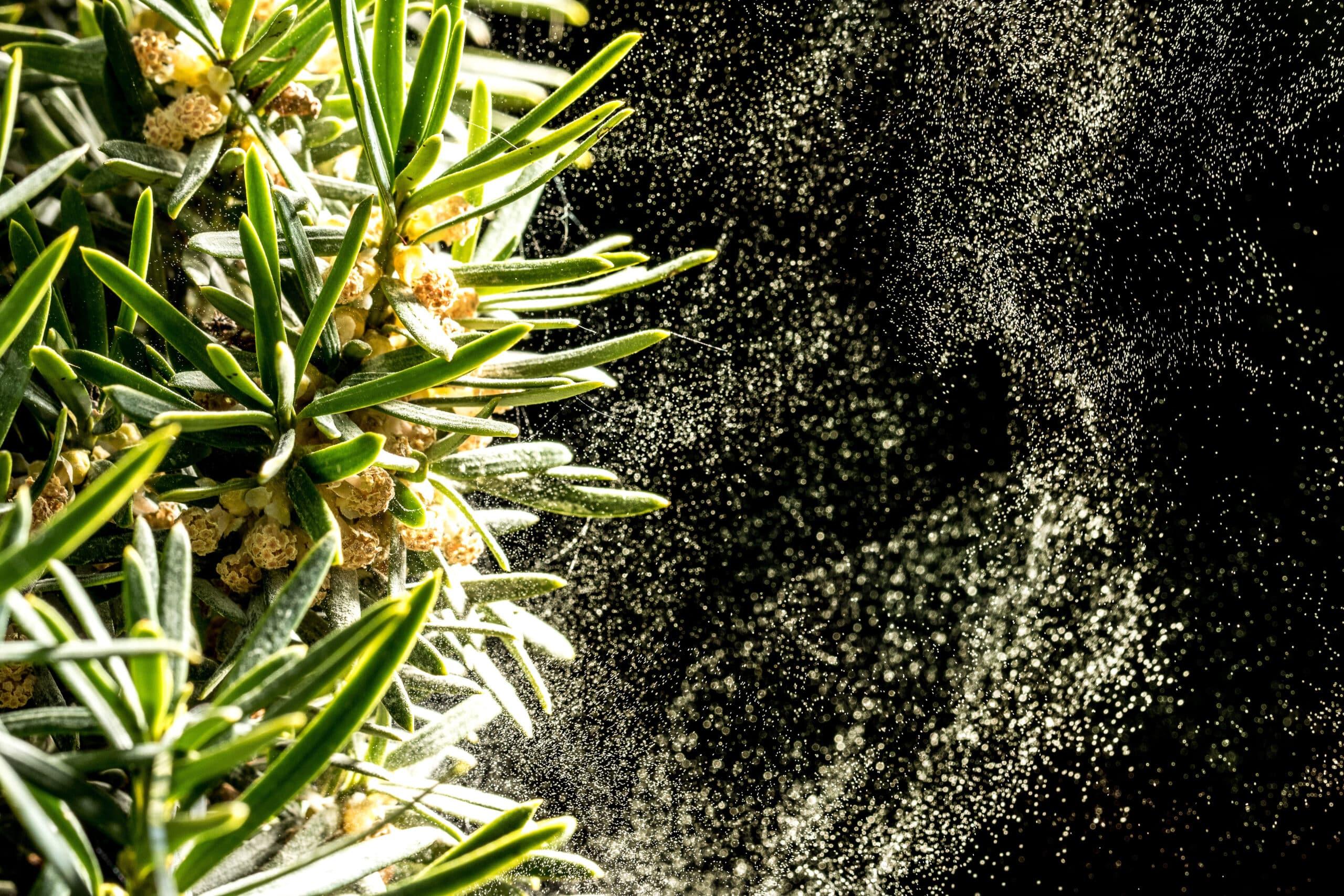 Pavasara putekšņi un alerģija